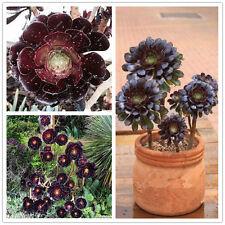 100pcs Aeonium Arboreum World's Rare Atropureum Flowers Seeds - Buy 3 Get 1 Free
