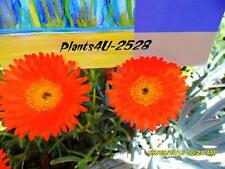 Succulent MESEMBRYANTHEUM (PIGFACE) Orange cuttings