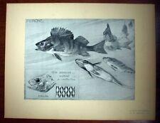 POISSON LA PERCHE Mathurin MEHEUT planche tirage original ETUDES D'ANIMAUX 1911