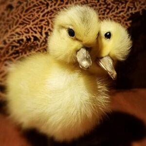 2 Headed Duck, Yellow Duckling Taxidermy, Oddities, Curiosities