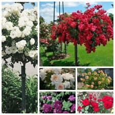 100Pcs Roses Tree Seeds Rare 10 Kinds Beautiful Fragrant Perennial Garden Plants
