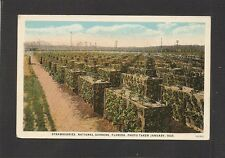 POSTCARD:  NATIONAL GARDENS, FLORIDA - STRAWBERRIES GROWING in Jan.1925, Unused