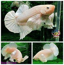 Live Betta Fish - High Quality HMPK Platinum White Giant Dumbo Ears