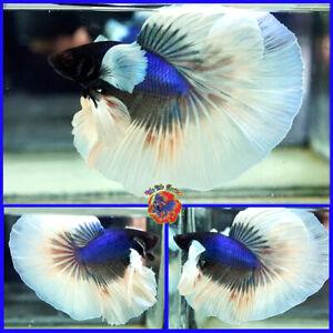 Live Betta Fish Male Fancy Blue Opal Butterfly Dumbo Ears Halfmoon #V737