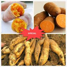 25PCS RARE Yellow sweet potato seeds, Garden seeds, jicama/sweet potato fruit
