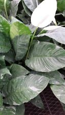 spathiphyllum domino variegated peace lily plant well rooted