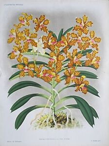 1886 VANDA ROXBURGHI Double Size Antique Botanical Print LINDEN