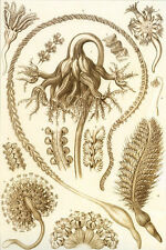 Ernst Haeckel Art Forms of Nature Anenome Kelp Flower Mollusk 18x24 new