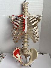 Vintage Anatomical Human Spine Skeleton Bones Torso Model Life Size Halloween