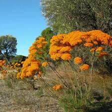 VERTICORDIA nitens Morrison Flower Seeds (N 317)