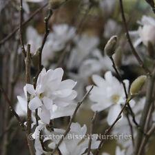 Magnolia Stellata Specimen Plant 10 litre pot