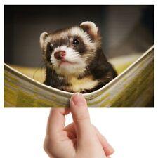 "Photograph 6x4"" - Ferret Hammock Pet Rodent Animal Art 15x10cm #16329"