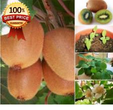 "200pc+ KIWI VINE "" Sweet Kiwi Fruit Seeds--HARDY CLIMBING EDIBLE FRUIT""HOT HOT**"