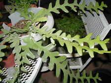 """1 Live Zig Zag Epiphyllum """"Orchid Cactus-Gorgeous !"""
