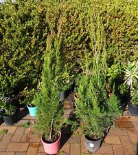 Plants Conifer Juniperus Spartan 200mm pots  approx 1.2m hgt    $25-00ea