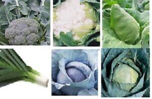Veg plug plant- Broccoli - Cauliflower - SPROUTS