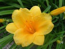 3X Daylily Day Lily Yellow Stella D'Oro Doro Dwarf Plant Hemerocallis Drought