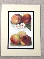 1892 Botanical Print Garden Fruits Peach Peaches Victorian Original Antique