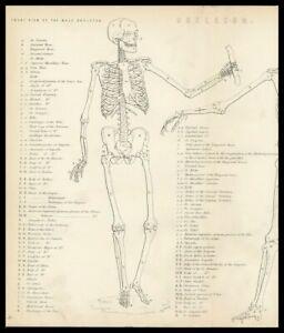 Rare 138+y Old Antique Print c19th Medical Engraving Anatomy Bones MALE SKELETON