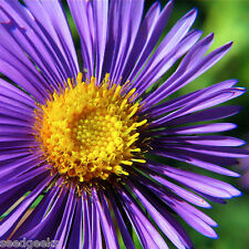 New England Aster Flower Seeds - Non-GMO - Untreated - Open Pollinated!