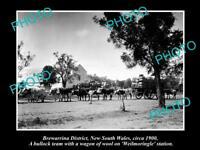 OLD LARGE HISTORIC PHOTO OF BREWARRINA NSW, BULLOCK TEAM CARTING WOOL c1900