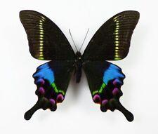 Papilio krishna ssp. thawgawa Männchen