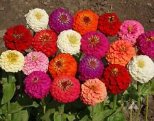 90 Semillas DE ZINNIA GIGANTES FLOR DAHLIA VARIADAS / Planta Anual