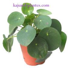 Pilea Peperomioides, plante grasse, caudex.
