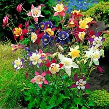 500 Seeds Mixed Aquilegia Coerulea Perennial Flower Plants Garden Seed Great
