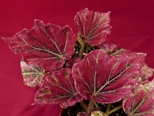 "begonia plant venetian red 4"" topf rex"