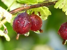 1 Red Gooseberry Plant /Uva Crispa 'Hinnonmaki Red' 2-3ft Tall Ready to Fruit