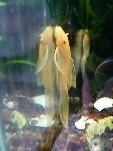 Blue Eyed Lemon Longfin Bristlenose Pleco BN Ancistrus Tank Bred Algae Eater