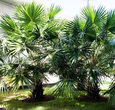 CABBAGE TREE PALM Livistona australis native rainforest tree plant in 200mm pot