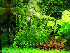 1 pot d echinodorus vesuvius made in france tres rare poisson filtre  crevette