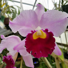 "Bin) Lc Orglades Grand You Chang Beauty' x self Cattleya Orchid Plant 2 1/2"" Pot"