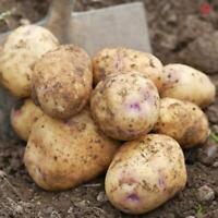 Seed Potatoes Picasso  Maincrop 1kg  Gardening