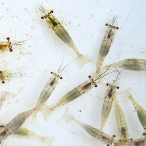 Live River shrimp - 5 bags for £13.95 including postage and packing