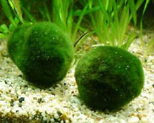 1 x MOSS BALL MARIMO LARGE live aquarium plant shrimp tropical goldfish ammonia