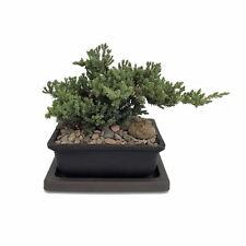 "Japanese Juniper Bonsai Tree - Pot with Saucer - 6"" x 4"" x 2"""