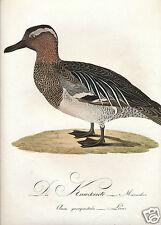 Susemihl birds Teutsche Ornithologie 1800 HC engraving male garganey duck