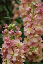 50+ Apricot Evening Stock Matthiola Flower Seeds / Reseeding Annual