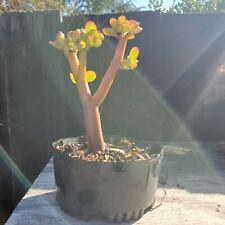 Bonsai Tree Jade (crassula ovata) Lucky Starter Tree Succulent JaysBonsaiTrees