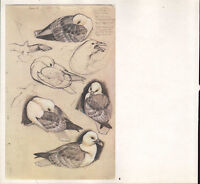 Bella Vintage Uccello Stampa ~Fulmar~
