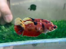 New listing [Ngf - 0996] Live Betta Fish Red Nemo Tiger Female