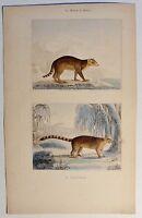 Bergnasenbär / Coati brun - antik Kolor-Steindruck/Litho um 1800 - Buffon