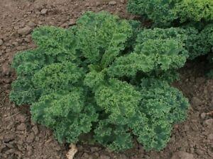 Kale (Borcole) 'Dwarf Blue Scotch Curled'  - Vegetable Plants (6 or12 plugs)