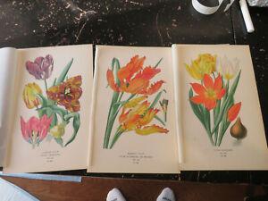 Tulips - Favorite Flowers of Garden & Greenhouse, London 1896 3 plates
