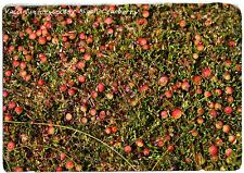 Vaccinium oxycoccos 'Small Cranberry' [Ex. Estonia] 50 SEEDS [HARD TO FIND!]