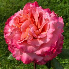 FOXTROT   Hybrid Tea Bush Rose   7ltr Potted Rose Plant   Pink Peach, Scented