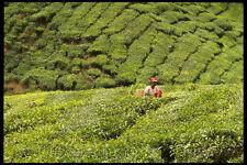 477058 Boh Tea Plantation Malaysia A4 Photo Print